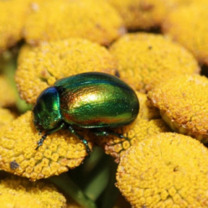 A green beetle on a bed of yellow flowers.