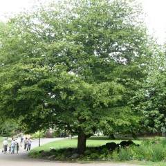 Cut Leaved Hornbeam