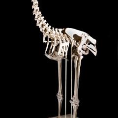 Moa Skeleton