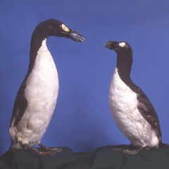 The Great Auks