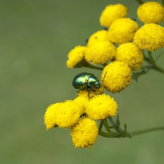 The Tansy Beetle, on yellow plant.