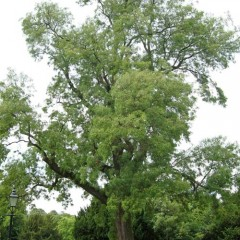 Willow Leaved Ash