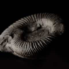 Photo of grey shell-like fossil