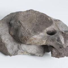 Vertebra bone of a sauropod dinosaur.