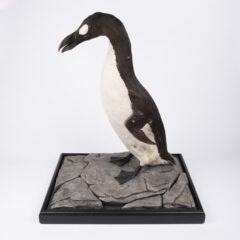 Side view of a stuffed Great Auks, a black and white bird.