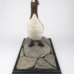 A full view of a stuffed Great Auks, a black and white bird.