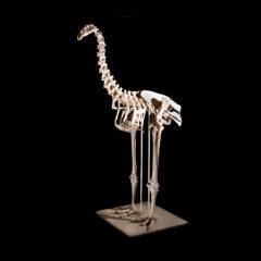 Full view of Moa Skeleton
