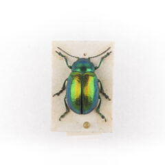 Tansy Beetle, a jewelled green-yellowed beetle